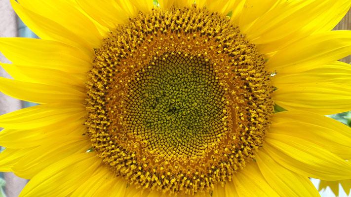 06.07. Phantastische Sonnenblume