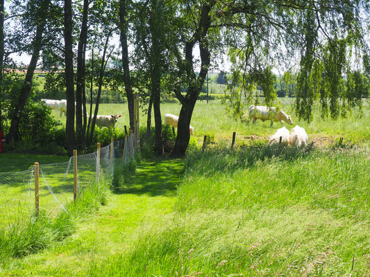 Die Kühe sind wieder auf der Weide - kommen zum Saufen