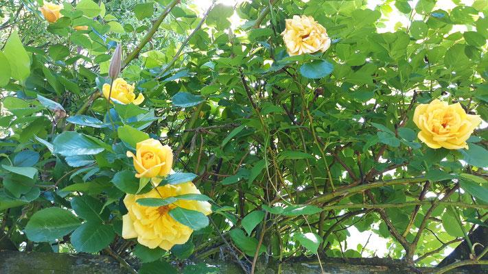 Die gelben Rosen am Spalier