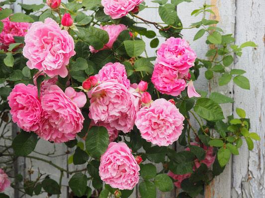 rosarote Rosen ...