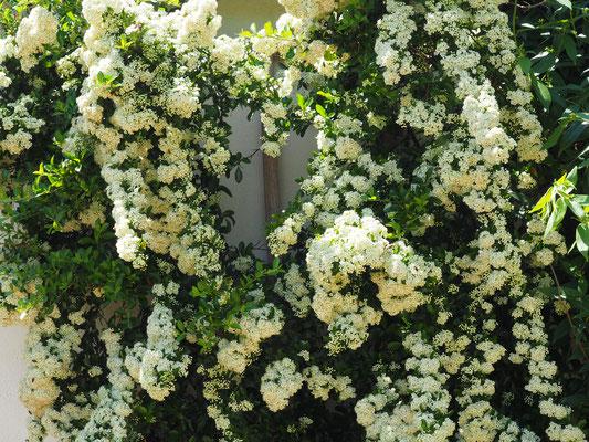Regelrechte Blüten-Kaskaden