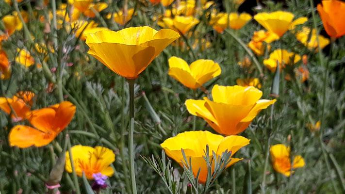Und auch der Californische Mohn blüht so üppig