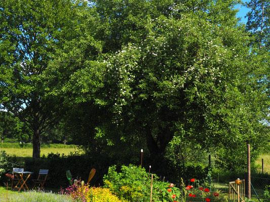 Der wilden Rose im Apfelbaum gefällt es