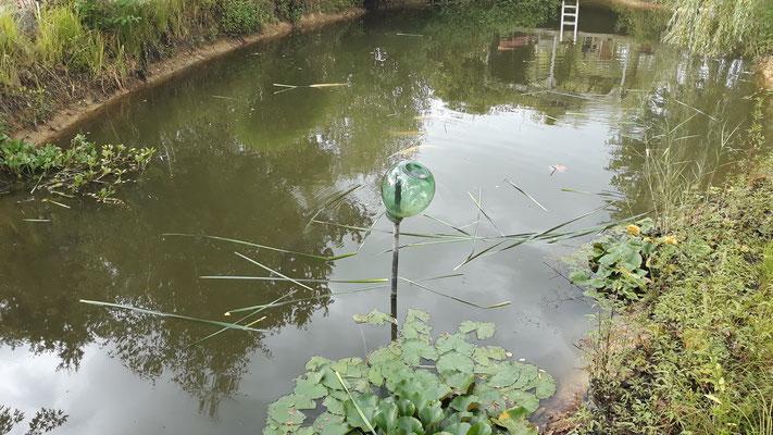 Die Fische werden mit Rohrkolben gefüttert