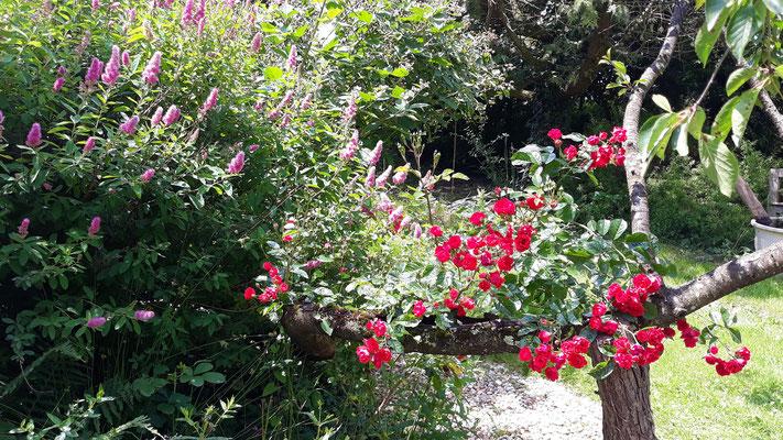 07.06. Eine alte tiefrote Rose im Zaubergarten