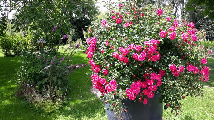07.06. Das Rosenbäumchen in voller Pracht