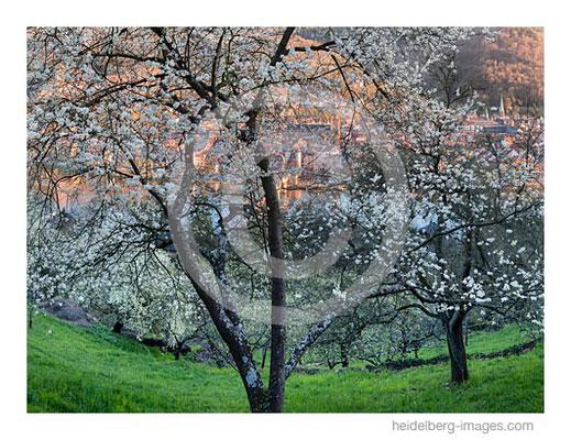 Archiv-Nr. hc2017116 Baumblüte auf dem Heidelberger Schlangenweg