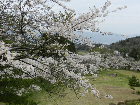 新穂ダムの桜