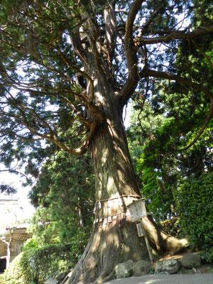 安産杉(牛尾神社)