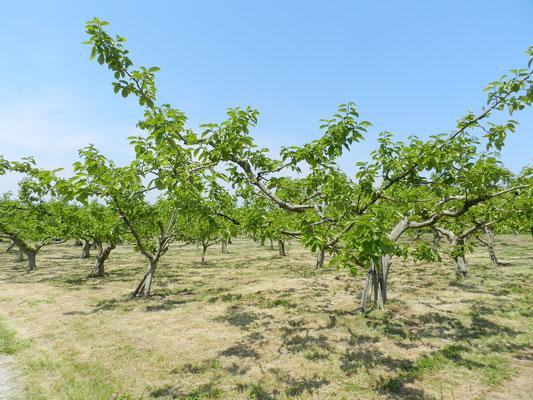 初夏の柿畑