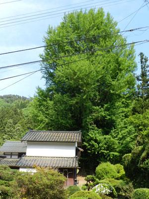 大銀杏(清水寺門前屋敷)