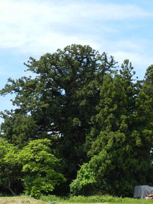 青木のとのさま杉