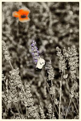 Lavanda con farfalla