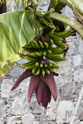 Anche le banane hanno un fiore... - (La Gomera 2015)
