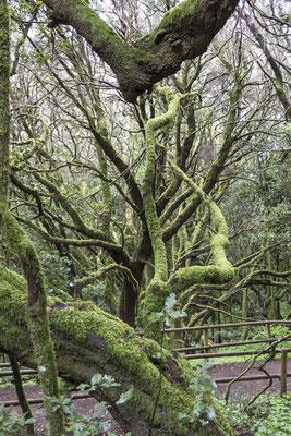 Il bosco verde - (La Gomera 2015)