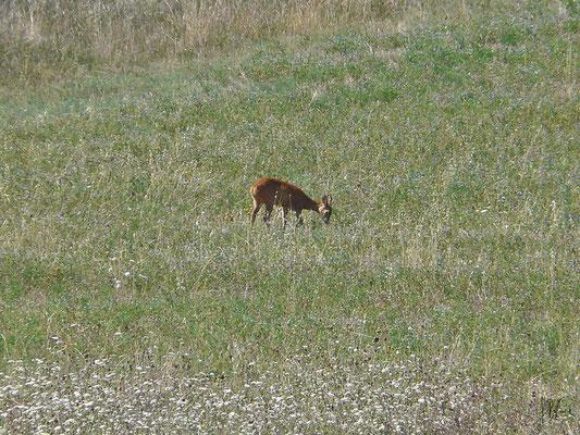 L'amico Bambi a Casa al Treggia - (Radicofani 2014)