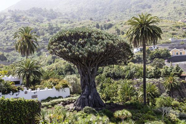 Drago millenario di Icod de los Vinos - Tenerife - Isole Canarie  - (2015)