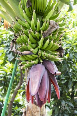 Il fiore di banano - (Tenerife 2015)