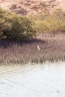 Cicogna bianca nelle mangrovie - Sharm el Sheikh - (2020)