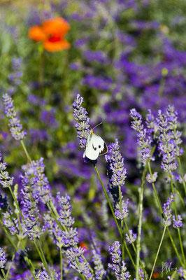 Lavanda con farfalla - (Radicofani 2014)