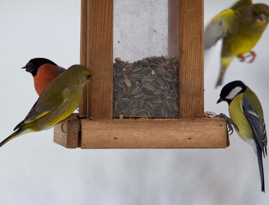 Gimpel, Grünfinken und Kohlmeise am Futterhaus