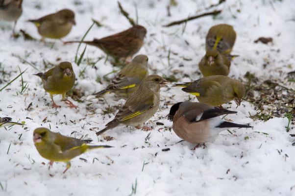 Grünfinken und Gimpel suchen Nahrung an der Futterstelle