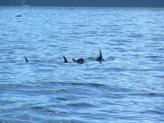dolphin, johnstone strait; bc