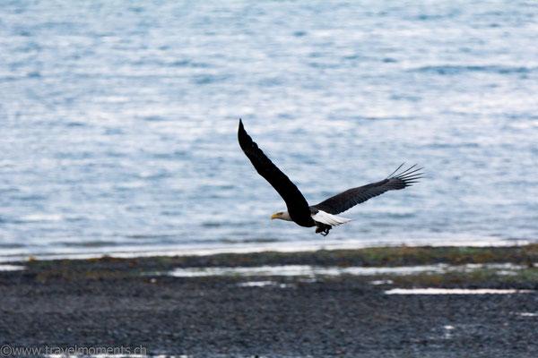 Weisskopfseeadler (Bald Eagle)
