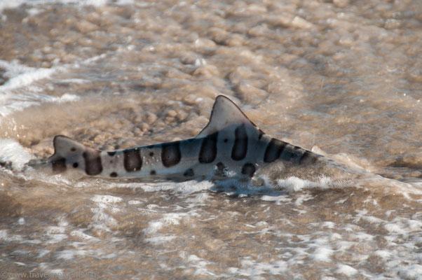 Santa Monica, Leopardenhai