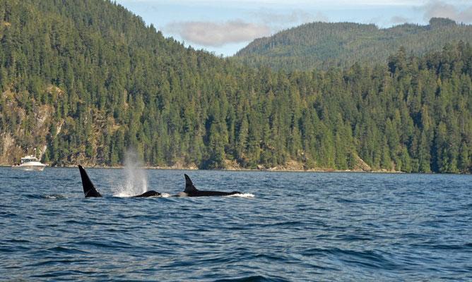 orca, johnstone strait; bc