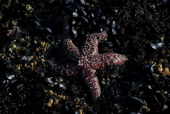 starfish, pacific coast; or
