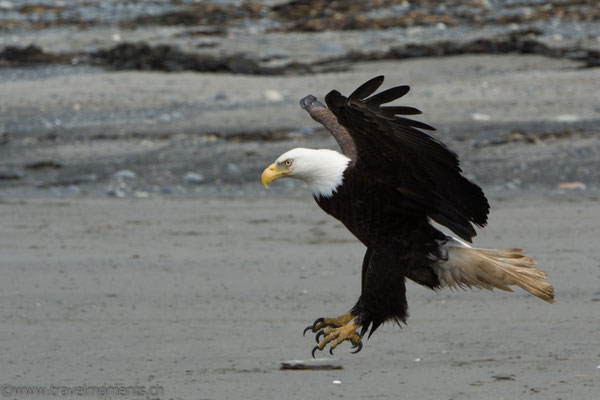 Weisskopfseeadler (Bald Eagle) am Anchor Point