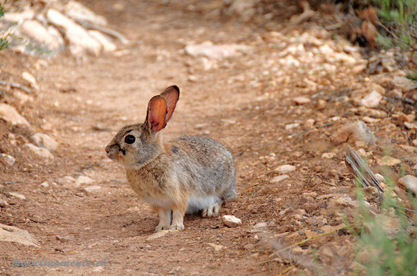 rabbit, grand canyon national park, south rim; ar