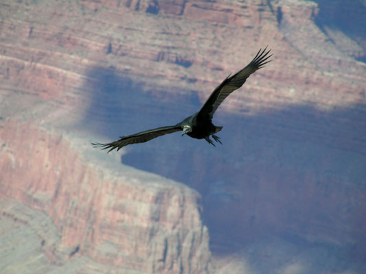 california condor, grand canyon south rim; az
