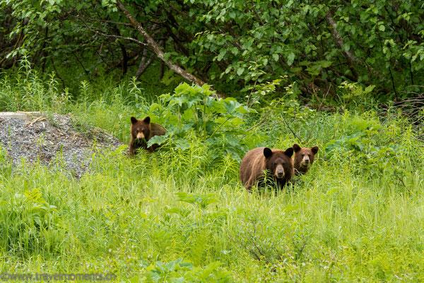 Schwarzbären (Black Bears)