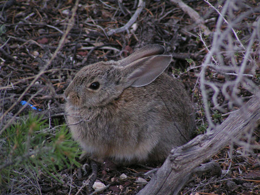 rabbit, grand canyon south rim; az