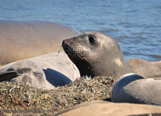 elephant seals, año nuevo bay; ca