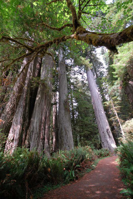 avenue the giants, redwood nat'l pk; ca