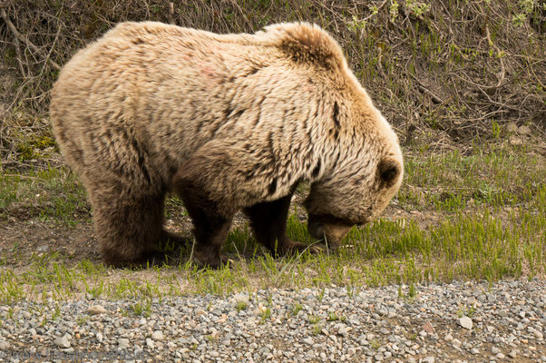 Denali NP, Grizzly