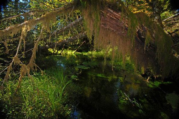 rain forest, olympic natl. park; wa