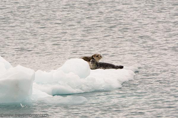 Seehunde (Harbor Seals)