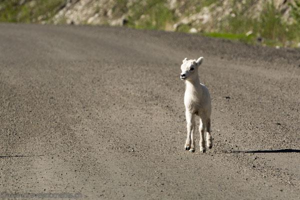 Dall Schafe