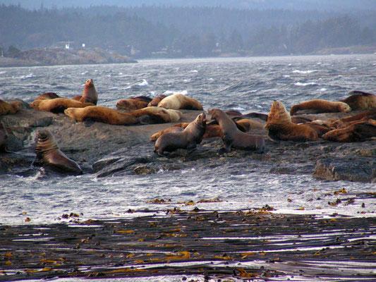 seals, vancouver island; bc