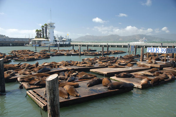seals, pier 39, san francisco; ca