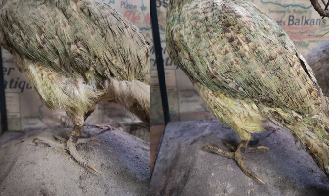 Restoration of a kakapo of the 19th century. Extremely fragile plumage. Original feathers.
