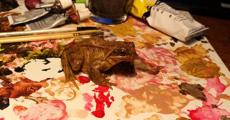Modèle de grenouille rousse (Rana temporaria)