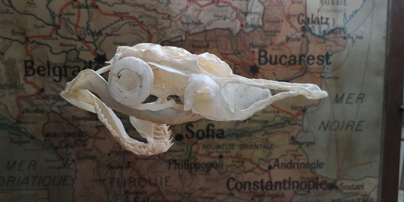 Blue shark cartilaginous skull (Prionace glauca)