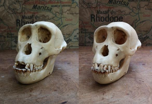 Ajout de dents sur un crâne de primate (Musée africain de Namur)