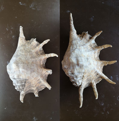 Restauration d'un coquillage du genre Lambis, Madagascar