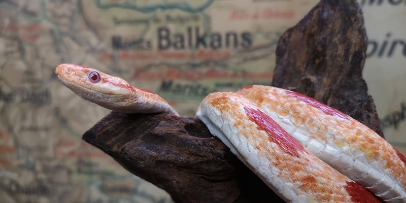 Serpent des blés amélanistique